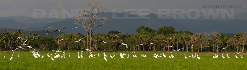 "Herons, Egrets and Storks in the western lowlands of Costa Rica. Best viewed in 2XL size.  To purchase this or any other panoramic image, select ""none"" as your crop option at checkout."