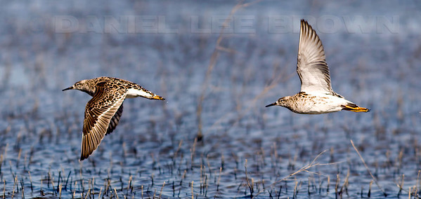"2 images, Ruff,  2008. To purchase this or any other panoramic image, select ""none"" as your crop option at checkout. Yolo Bypass Wildlife Area"