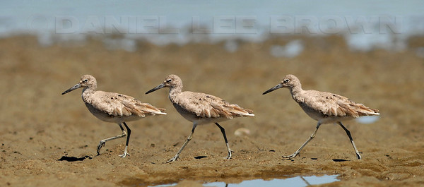 "Willet, 3 image photomerge. To purchase this or any other panoramic image, select ""none"" as your crop option at checkout."