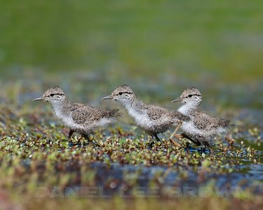 Spotted Sandpiper chick, Nevada Co, CA, 7-16-11. This is a 3 image stitched photomerge, produced in photoshop CS5.