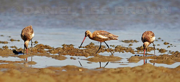 "Marbled Godwit, 3 image photomerge. To purchase this or any other panoramic image, select ""none"" as your crop option at checkout."
