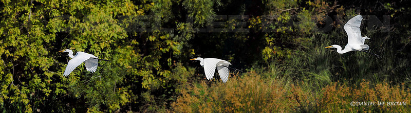 "Great Egret, American River Parkway, Sacramento co, CA. Best viewed in 2XL size.  To purchase this or any other panoramic image, select ""none"" as your crop option at checkout."