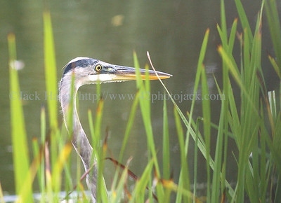 jhheron2  - A great blue heron looks for fish along the shoreline and weed bed at the pond at State Marine Park on Friday.