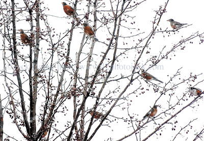 """jhrobin2 - Reports from readers that they have seen some """"Robins"""" around is not crazy. Here are some hanging out in a tree near the employee door here at the Daily Messenger on Tuesday afternoon."""