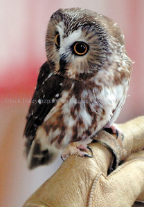 jhraptor3 - Weighing the same as a stick of butter, this Saw-whet owl was the smallest bird that Walker talked about with residents of Horizons.