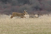 jhdeerrunning - A buck catches up to a doe as three other doe (not pictured)  lead the way in a field off of Oakmount Road in Bloomfield on Thursday, 1/4.