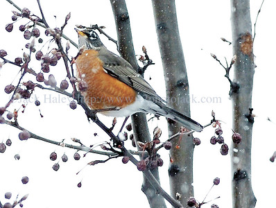 """jhrobin1 - Reports from readers that they have seen some """"Robins"""" around is not crazy. Here are some hanging out in a tree near the employee door here at the Daily Messenger on Tuesday afternoon."""
