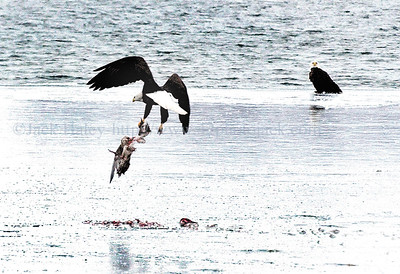 jheagles - Lunch on the go. One bald eagle takes off with which appears to be a goose or duck carcess while the other watches as they sat on a patch of ice near the Canandaigua Yacht Club on Tuesday (2/13).