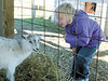 jhpumpkin2 - Sarah Roat looks at a goat at the Wickham's Pick 'n Patch & Corn Maze on Friday. She and other youngsters from Little Lamb's Preschool toured and played at the facility on Friday.