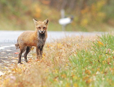 jhfox - A young fox gets ready to bolt into the woods after trotting down the side of East Lake Road in Middlesex on Tuesday afternoon.