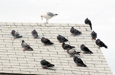 "jhcrowd - ""Hey, which one of you invited him,"" maybe that wasn't said but a lone sea gull hangs out on a rooftop with a bunch of pigeons at the City Pier on Friday."