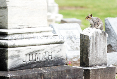 jhjumph - (STATE PAGE STANDALONE) - Eventually this squirrel will do the name on the tombstone to the left to get down from it's perch on Wednesday, June 6, 2007 at Oakwood Cemetary in Penfield.