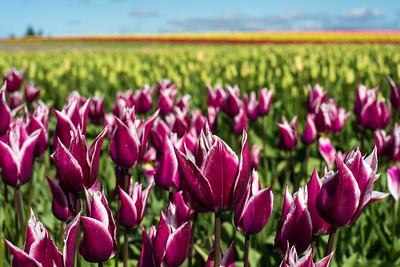 Variegated tulips