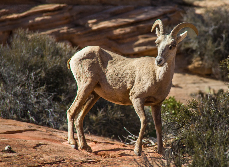 Young Bighorn Sheep along the east side main entrance road to Zion N.P.