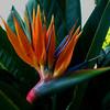 Bird of Paradise in a California garden. Taken from the sidewalk of a major road.