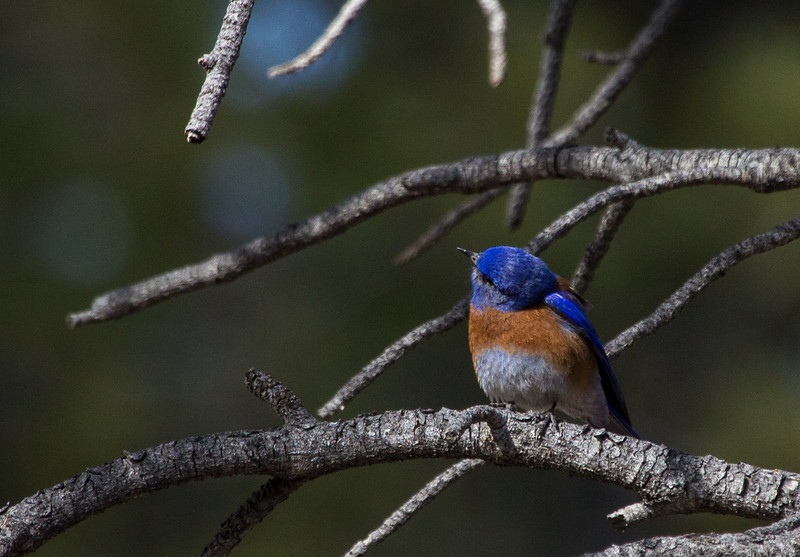 Western Bluebird on the Bryce Canyon rim at a picnic area.