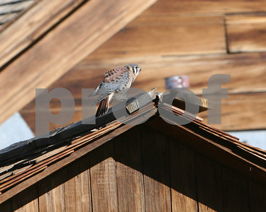 Kestrel eating a mouse, Bodie, CA