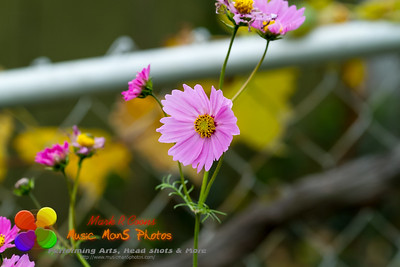 small pink and yellow flowers in the late fall