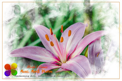 a wide angle view of a pale pink lily at dawn