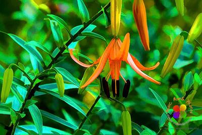 painting Tiger Lilies     ©Music Man5 Photos