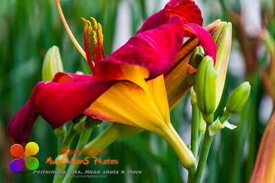 close up side view of a red and yellow lily