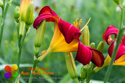 side view of a red and yellow lily