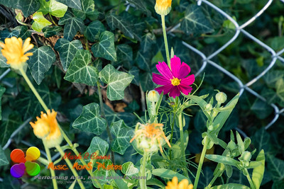 lone red wildflower surrounded by ivy and yellow flowers