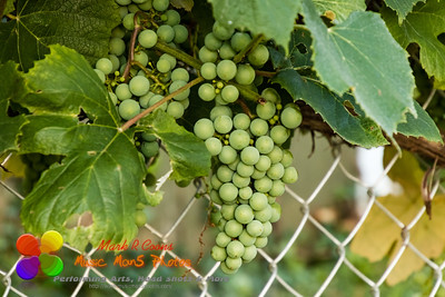 grape vines are still developing lots of concord grapes