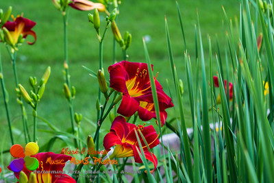 group view of the red yellow day lilies
