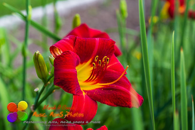 close up of a red yellow day lily in the morning