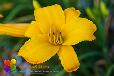 newly opened yellow lily blossom at dawn