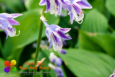 a close up of a lavender Hosta plant that is blooming