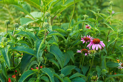 current and future coneflowers