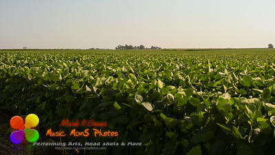 hazy summer day out in the soybean field
