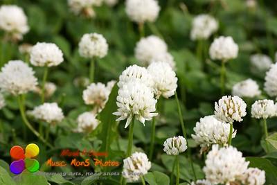 field of clover in full bloom