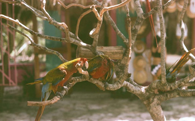 Parrots in Mexico