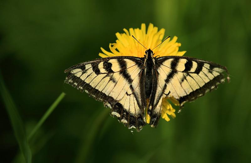 June 17, 2016.  An unfortunate swallowtail