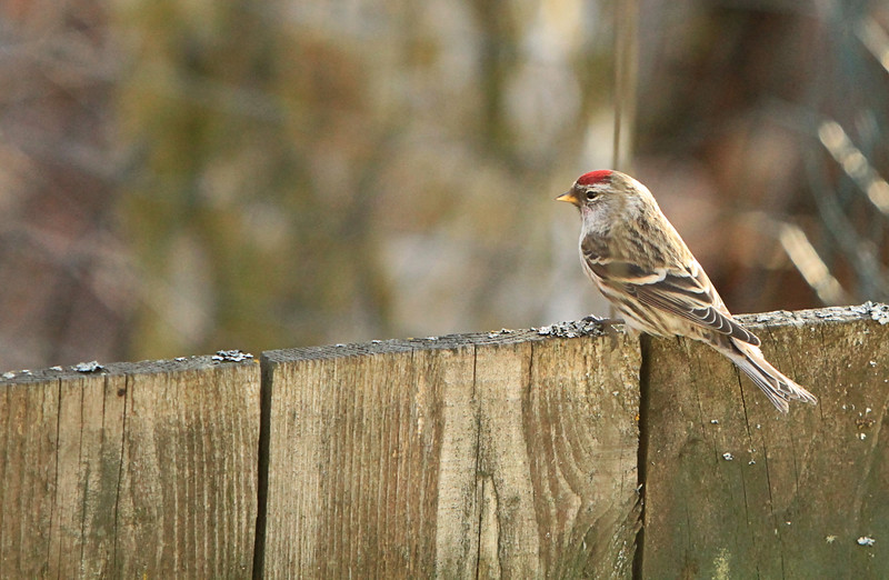 March 12, 2016.  A visiting redpoll, a rare sight the past couple of years
