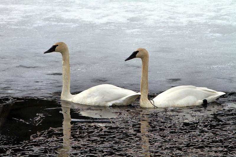 April 8, 2016.  Swans