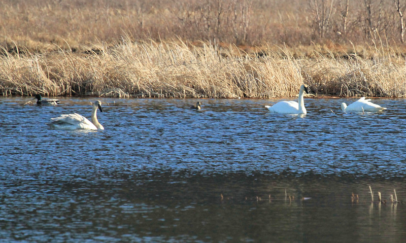 April 7, 2016.  Swans at Potter Marsh