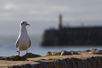 Gull (Porthcawl)
