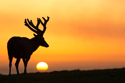 Deer at sunset (Margam mountain)