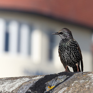 Starling (Porthcawl)
