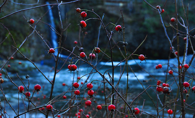 12/26/09  The berries are still red.