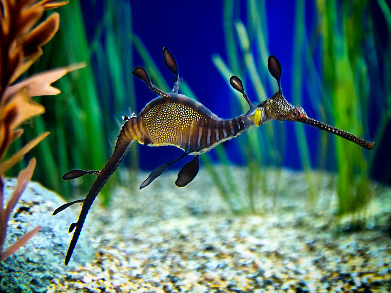 Weedy Sea Dragon Poses For A Moment (Phyllopteryx Taeniolatus)