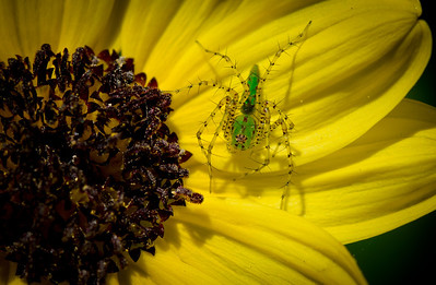 Tuesday, April 24, 2012. Strange green spider on a small yellow flower at Mounts Botanical Garden in West Palm Beach, FL.