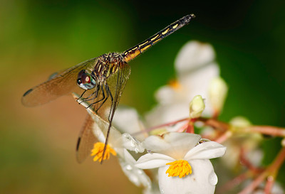 Wednesday, April 4, 2012. Dragonfly close up.