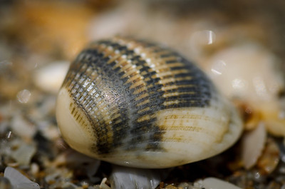 Monday, May 7, 2012. A shell on the beach on Hutchinson Island, Port St. Lucie, FL.