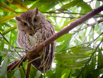 Thursday, September 27, 2012. Screech owl in my Japanese Fern tree.