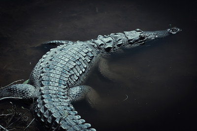 Sunday, June 3, 2012. Alligator in the Florida Everglades.